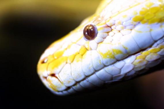 Meet Medusa: The Two Headed Albino Snake That's Worth $50,000
