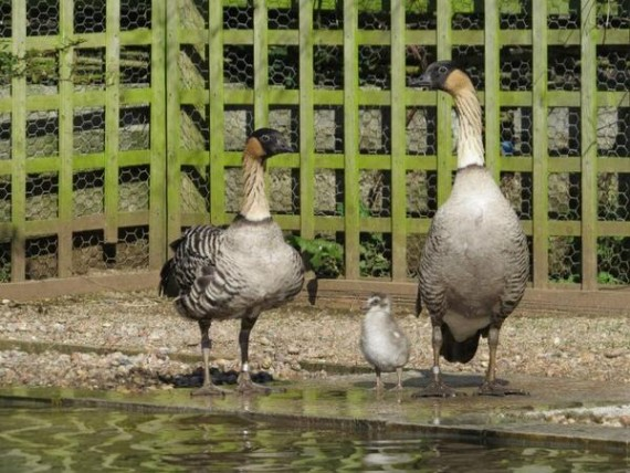 Geese With Gosling
